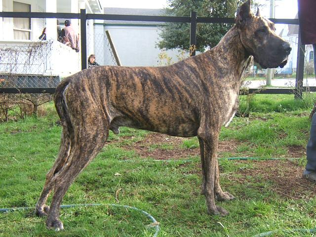 What Are Great Danes Bred For Proudly GREAT Great Da...